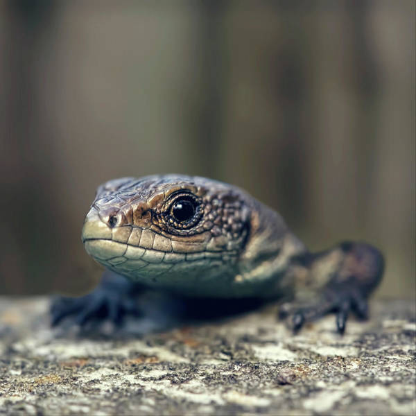 Curiosity Photograph - Little Lizard Climbing Over Wall, York by Blackcatphotos