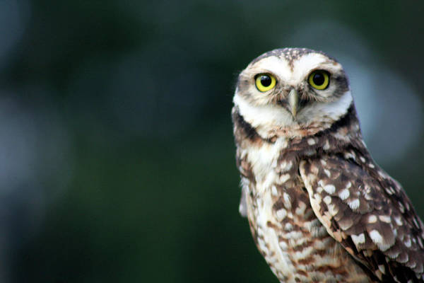 Little People Photograph - Little Owl by Adriana Casellato