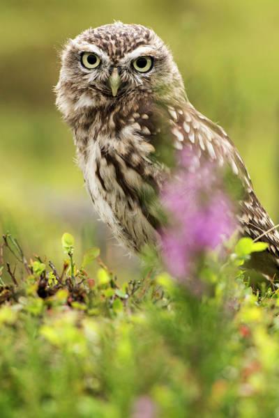 Wall Art - Photograph - Little Owl  Athene Noctua , Captive by Uig