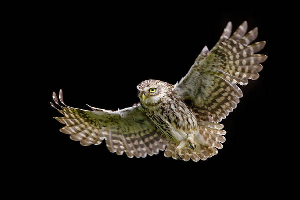 Little People Photograph - Little Owl Athene Noctua In Flight by Mark Smith