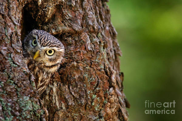 Wall Art - Photograph - Little Owl, Athene Noctua, In The by Ondrej Prosicky