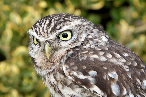 Little People Photograph - Little Owl Athene Noctua by Roel Meijer