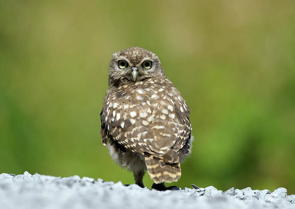 Little People Photograph - Little Owl by Mark Hughes