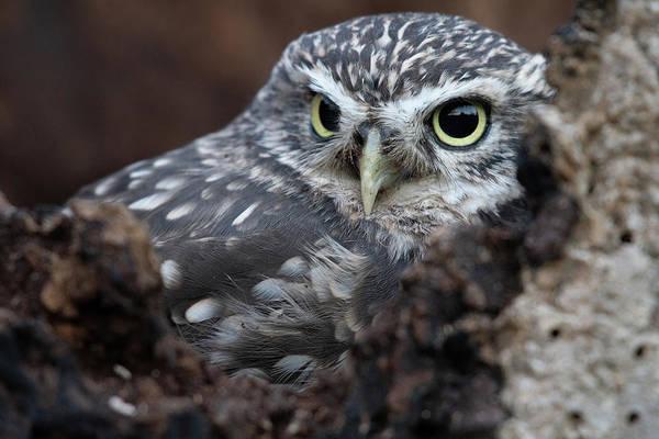Photograph - Little Owl Portrait by Mark Hunter