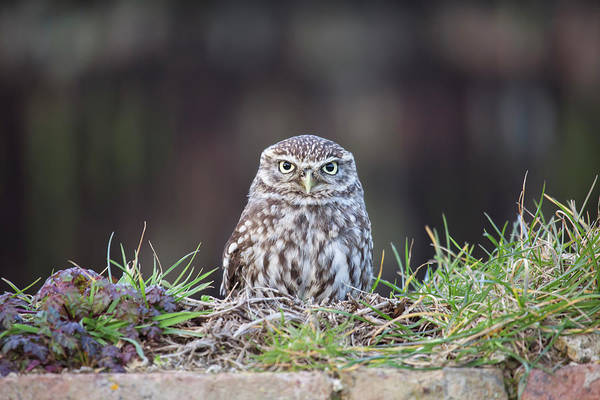 Little People Photograph - Little Owl Resting On Wall by Nick Cable