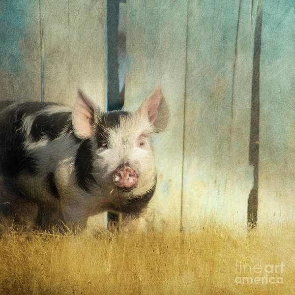 Pig Photograph - Little Piglet by Priska Wettstein
