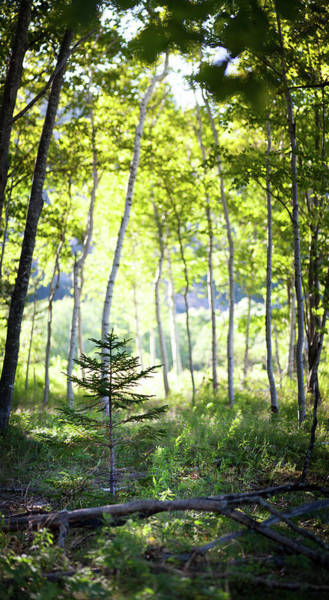 Pine Tree Photograph - Little Pine Tree Sapling Amongst Birch by Photographer3431