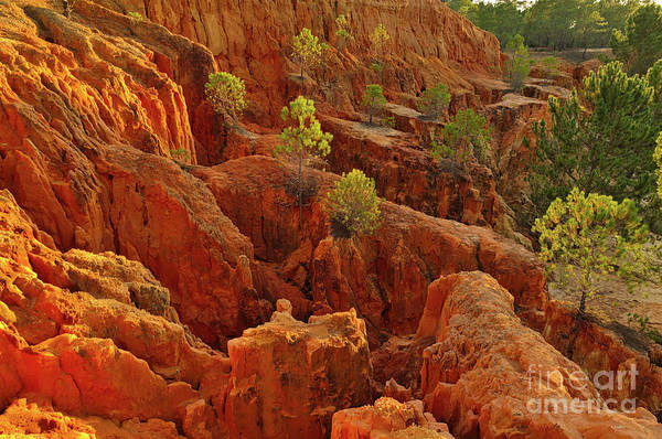 Little Pine Trees Growing On The Valley Cliffs Art Print