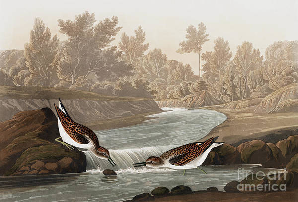 Painting - Little Sandpiper, Tringa Pusilla By Audubon by John James Audubon