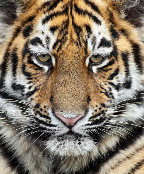 Wall Art - Photograph - Little Siberian Tiger Close Up by Andyworks