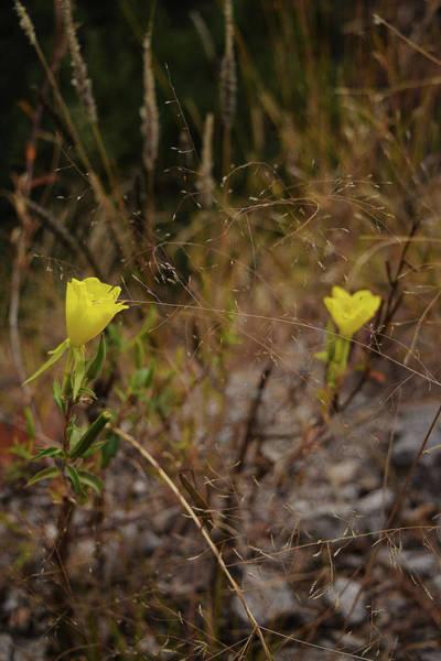Photograph - Little Yellow Flowers by Chance Kafka