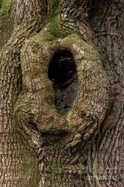 Knot Hole Photograph - Live Oak Knothole by Norma Brandsberg