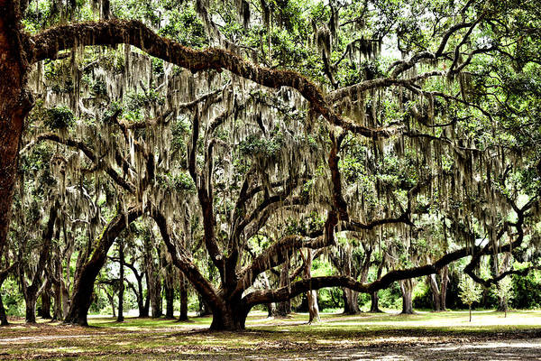 Photograph - Live Oak Number 153 by Kathy K McClellan