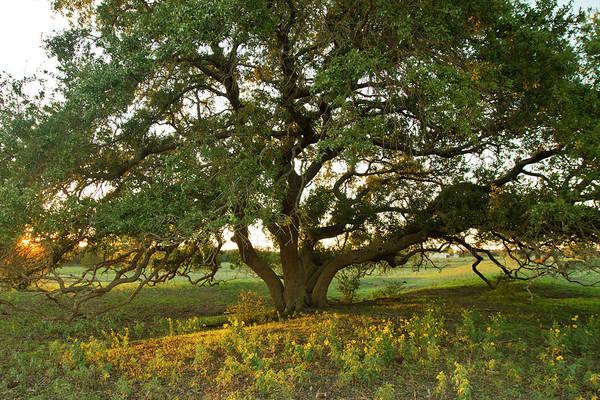 Coast Live Oak Photograph - Live Oak Quercus Virginiana At Sunset by Danita Delimont