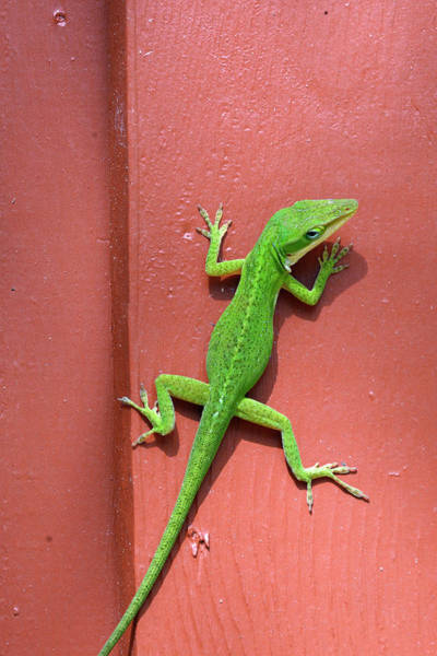 Photograph - Lizard On Mauve In The Jekyll Island Historic District by Bruce Gourley
