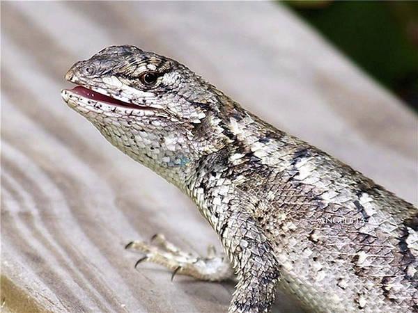 Photograph - Lizzy Lizard by Angelcia Wright