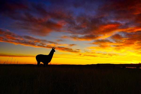 Photograph - Llama At Sunrise by Bryan Smith