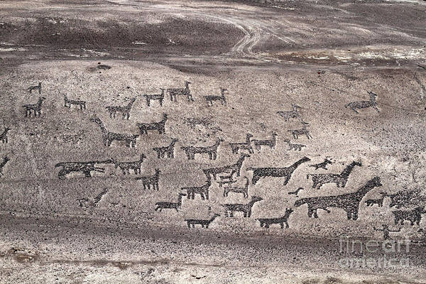 Photograph - Llama Geoglyphs At Tiliviche Chile by James Brunker