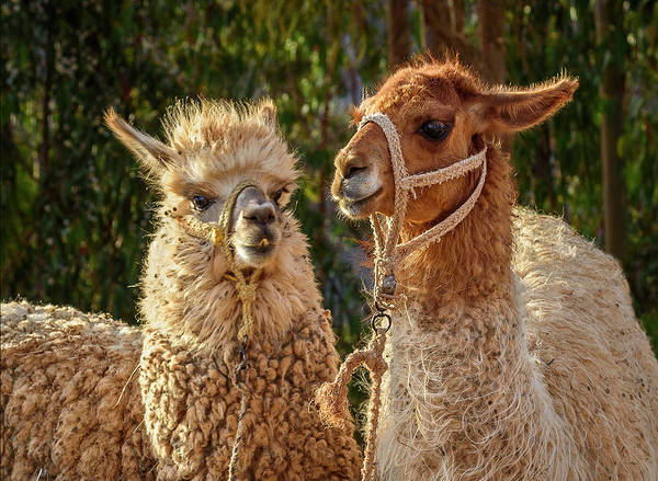 Photograph - Llama Love by Jon Exley