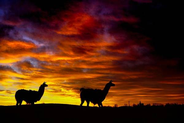 Photograph - Llama Silhouette  by Bryan Smith