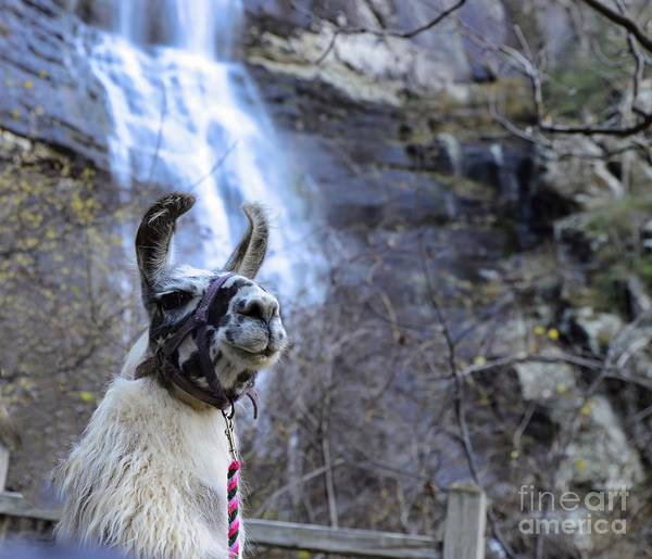 Photograph - Llama Waterfall by Buddy Morrison