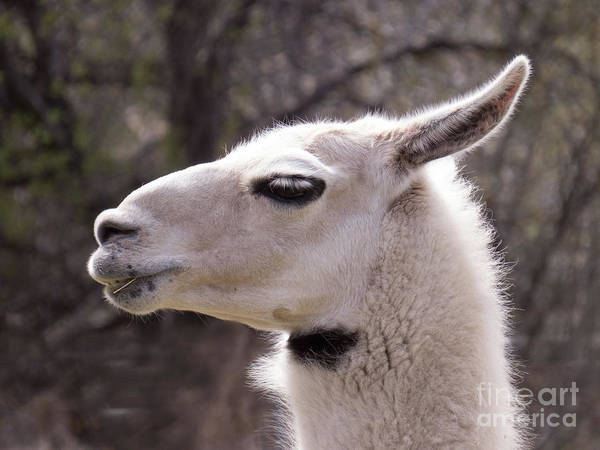 Photograph - Llama With A Bow Tie Marking.  by Christy Garavetto