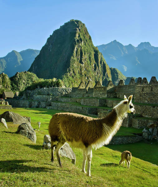 Wall Art - Photograph - Llamas Lama Glama Grazing In Machu by Danita Delimont