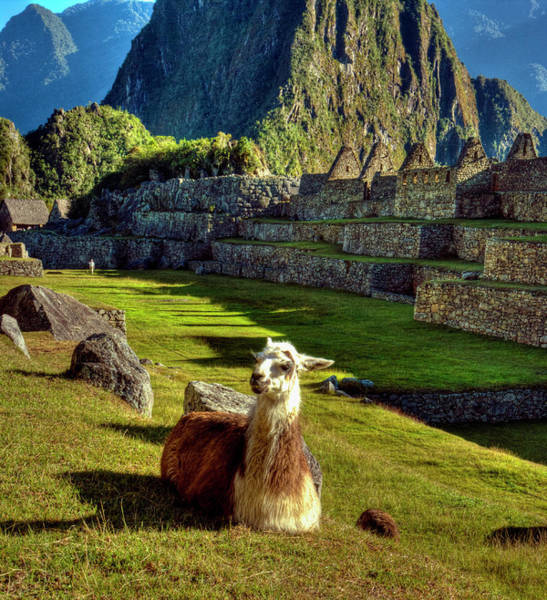 Wall Art - Photograph - Llamas Lama Glama In Machu Picchu by Danita Delimont