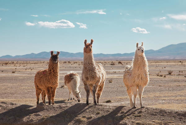 Curiosity Photograph - Llamas Posing In High Desert by Kathrin Ziegler