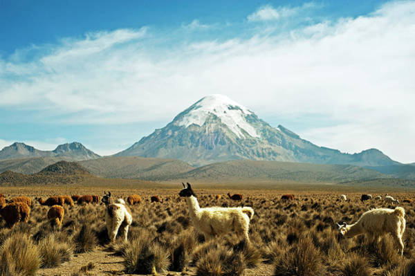 Wall Art - Photograph - Llamas With Snowcapped Volcano Sajama by Anthony Asael