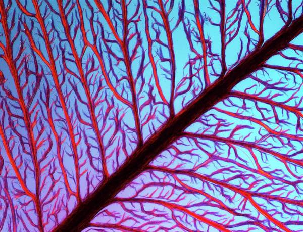 Seaweed Photograph - Lm Of The Red Algae, Plumaria Elegans by Pasieka