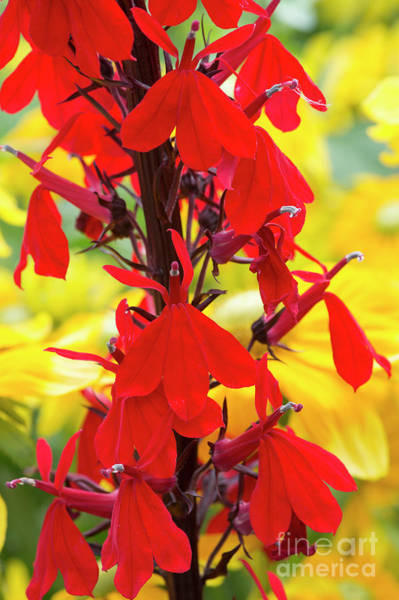 Wall Art - Photograph - Lobelia Cardinalis Queen Victoria by Tim Gainey