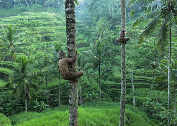 Photograph - Local Men Climbing Coconut Trees by Martin Puddy