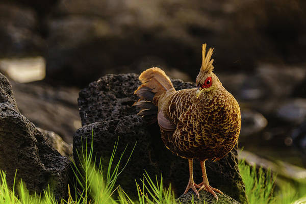 Photograph - Local Pheasant by John Bauer