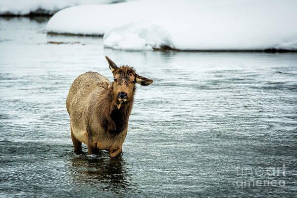Wall Art - Photograph - Loco Elk by Timothy Hacker