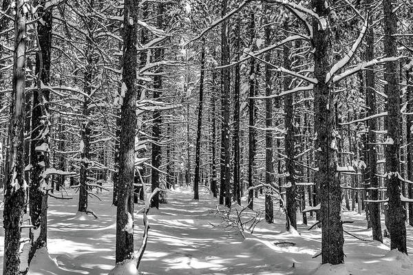 Wall Art - Photograph - Lodgepole Pines In Winter by Eric Glaser