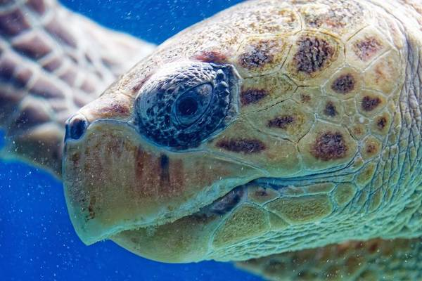 Photograph - Loggerhead Sea Turtle - Scripps Inst. Of Oceanography, Ca by KJ Swan