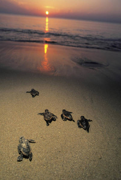 Vertebrate Photograph - Loggerhead Turtle Hatchlings Crawl by Doug Perrine