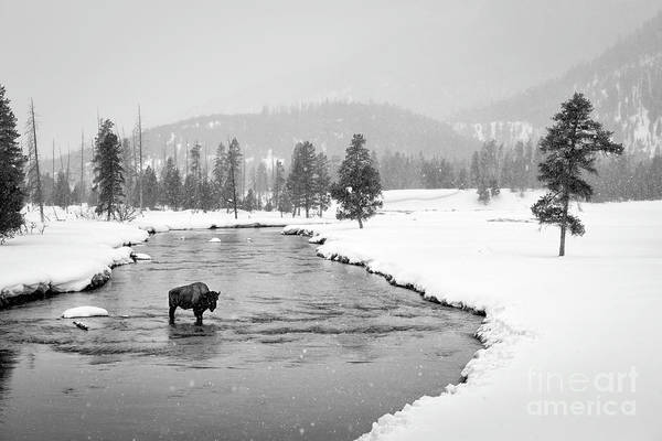 Wall Art - Photograph - Lone Bison  by Timothy Hacker