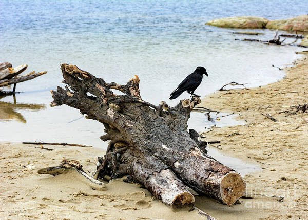 Photograph - Lone Carmel Crow Atop Driftwood by Susan Wiedmann