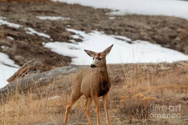 Photograph - Lone Colorado High Country Deer by Steve Krull