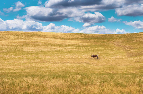 Cow Photograph - Lone Cow by Emmgunn