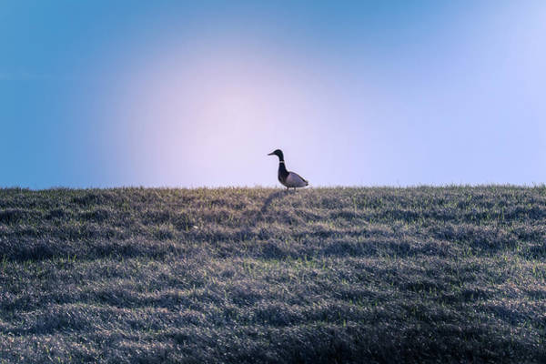 Photograph - Lone Duck by Dan Sproul