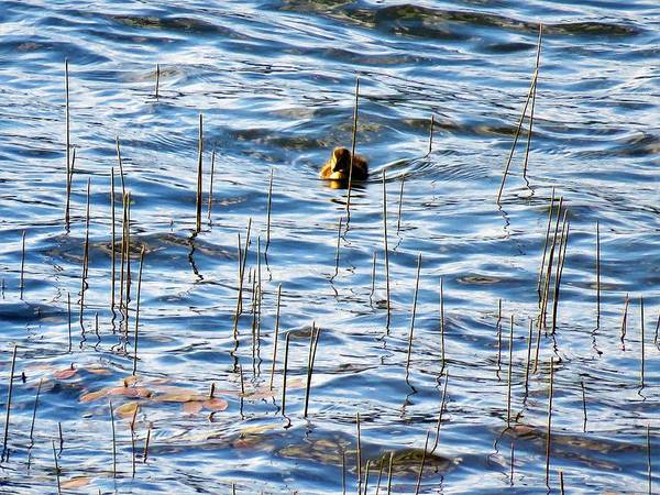 Photograph - Lone Duckling by Joan Stratton