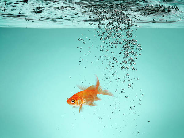 Fish Tank Photograph - Lone Goldfish In Water by Christopher Stevenson