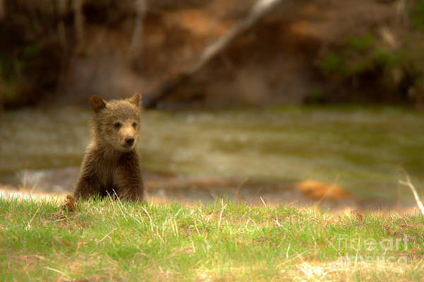 Photograph - Lone Grizzly Bear Cub by Adam Jewell