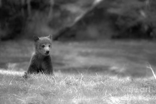 Photograph - Lone Grizzly Bear Cub Black And White by Adam Jewell