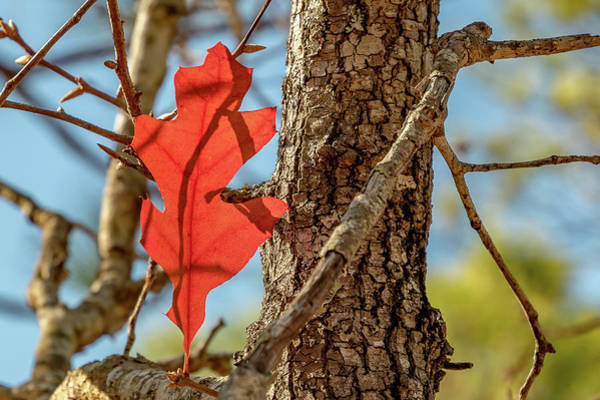 Photograph - Lone Leaf by Ree Reid