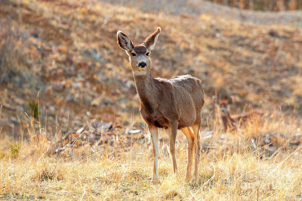 Photograph - Lone Mule Deer In The Rocky Mountain Springtime by Steve Krull
