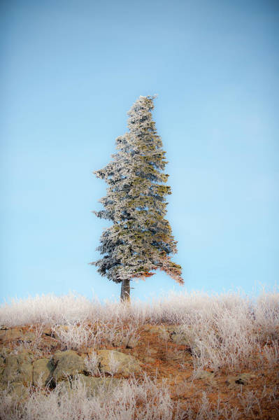 Photograph - Lone Pine With Hoarfrost by Mark Duehmig